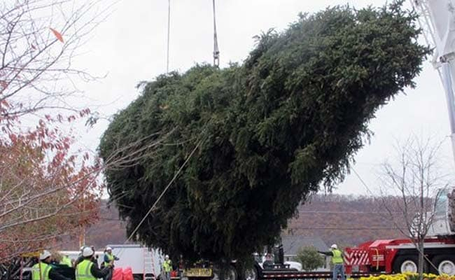 In New York, 85-Foot-Tall, 13-Tonne Christmas Tree ...
