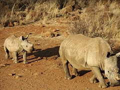 Record 1,020 Rhinos Killed in South Africa in 2014