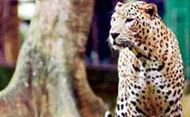 Female Leopard, 2 Cubs Found Dead in 3 Days