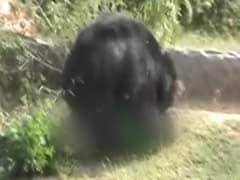 Fatal Bear Attack on Forest Guard Caught on Camera