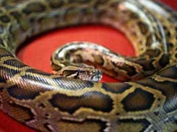 62 Year Old Woman Finds Python On Toilet Floor