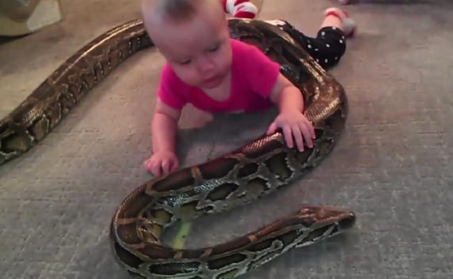 Father Thinks Snakes Are Harmless, Lets Daughter Play With Pet Python