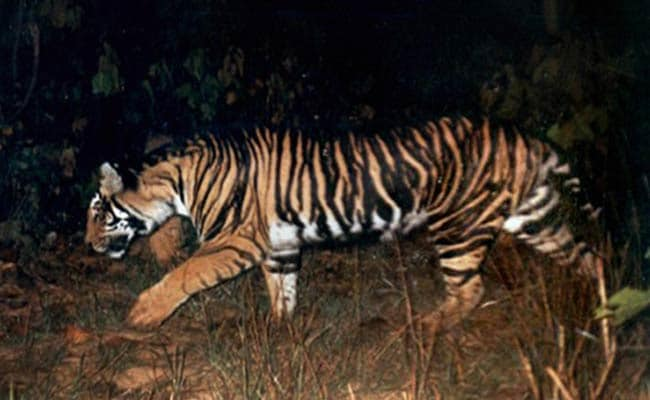 Tiger Numbers Up, But the Black Tiger of Odisha on Verge of Extinction