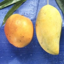 Why Mango is Good for You
