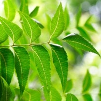 Indian Scientists Use Neem Protein to Fight Cancer