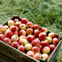 Apples Losing Their Crunch to Global Warming: Study