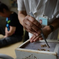 Bee Sting Therapy to Cure Cancer, Arthritis in China