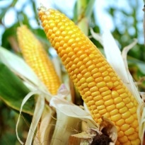 Top French Court Lifts Ban on Growing Monsanto GM Corn