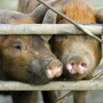 Oink Oink! No Five-Star Morsels for Goa Pigs