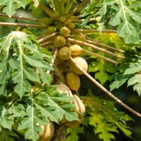 Can Papaya Plant Leaves Cure Dengue?