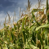 Strong patent regime needed for GM crops: Minister