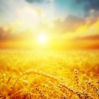 Future heat waves threaten global food supply