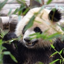 Eight out of eight pandas agree - sugar is delicious