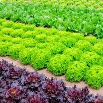 NASA adopts an innovative way to grow nutritious space veggies