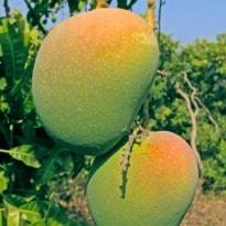 European Union bans Indian Alphonso mangoes & vegetables