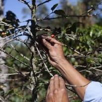 'Coffee rust' causing massive damage, raising coffee prices