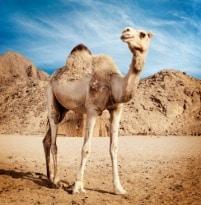Unbelievable Goodies in Camel's Milk