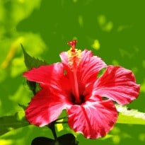 Indian Scientists Discover How Hibiscus May Help Diabetics Ndtv