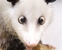 Germany's cross-eyed opossum to pick Oscar winners
