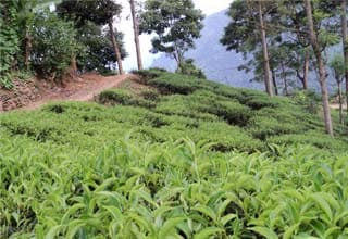 Tea Association of India demands transport subsidy for ailing tea industry