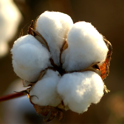 Cotton Association seeks removal of ban on exports