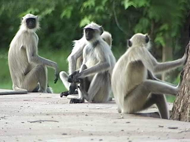 Video : सफारी इंडिया : अजब सी कहानी लंगूरों का...