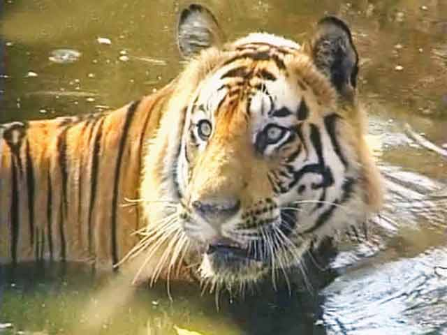 Video : Special Report: Saving wild India (Aired: May 2005)
