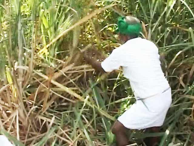 Video : In Karnataka's sugar bowl, bitter protests by farmers over prices