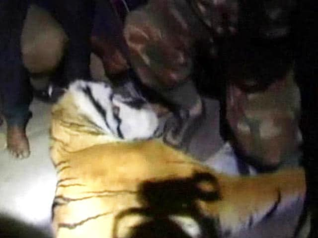 Video : Tiger, which had killed three people near Ooty, shot dead