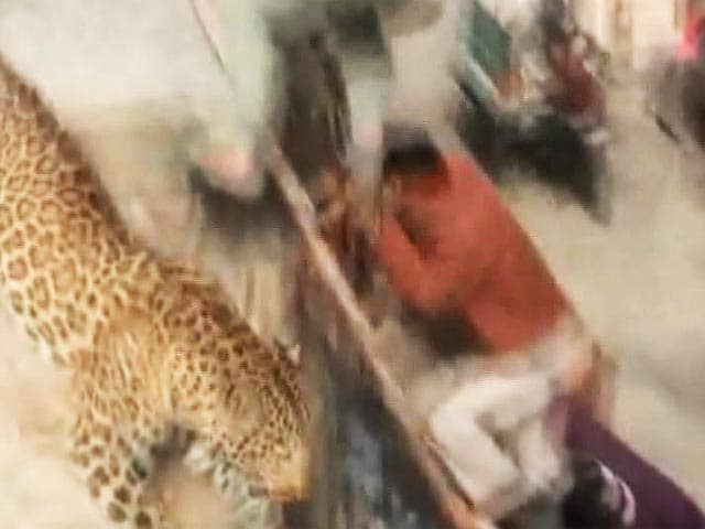 Video : Leopard loose in Uttar Pradesh town, schools and colleges shut