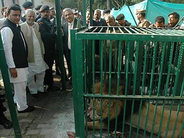 Video : Lion-sized attack for Akhilesh Yadav and Narendra Modi