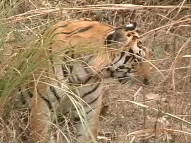 Video : The man eating Tigress of Bijnore