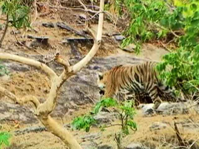 Video : The Tiger-coal conflict