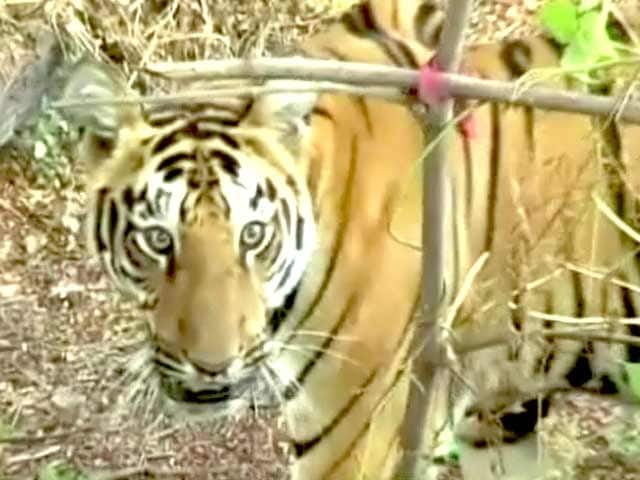 Video : बाघ बचाओ मुहिम : महाराष्ट्र के ताड़ोबा टाइगर रिजर्व की बात