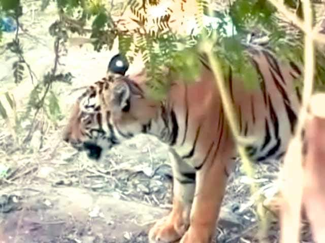 Video : Tiger in the village