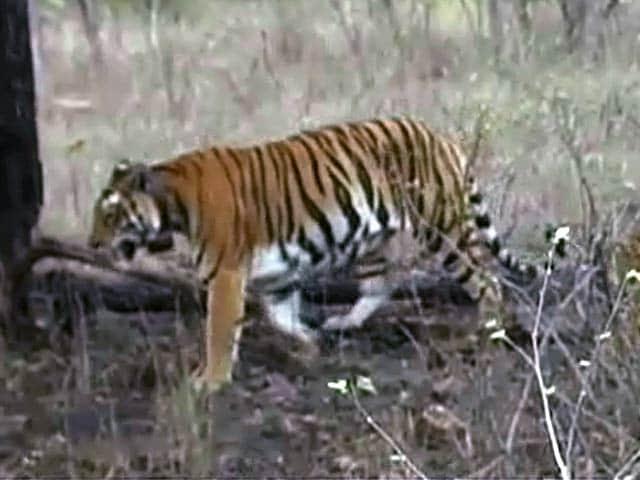 Video : The Panna tiger reserve turnaround story