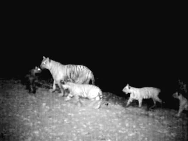 Video : Tigress spotted with five cubs in Tamil Nadu
