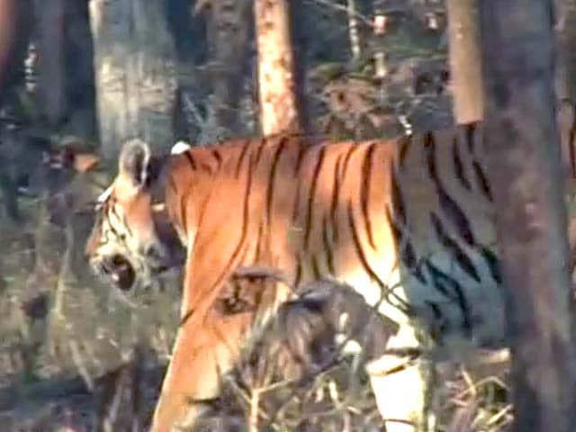 Video : पेंच टाइगर रिजर्व में 40 से ज्यादा बाघ