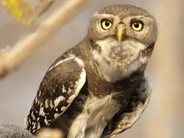 Video : Melghat Tiger Reserve: Endangered Forest Owlet's Safe Haven