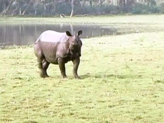 Video : 'The Pride Of Assam':  The Rhino Under Threat