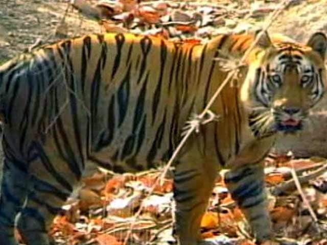 Video : The Tiger Agenda: Increased Protection of Buffer Zones and Corridors