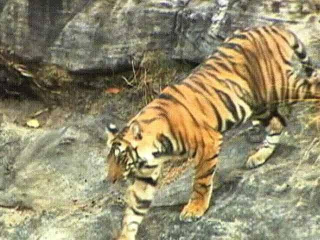 Video : Kipling's Jungle: Pench Tiger Reserve
