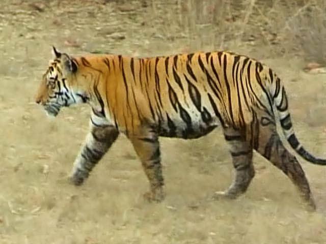 Video : बाघ बचाओ अभियान : तडोबा अंधारी टाइगर रिजर्व