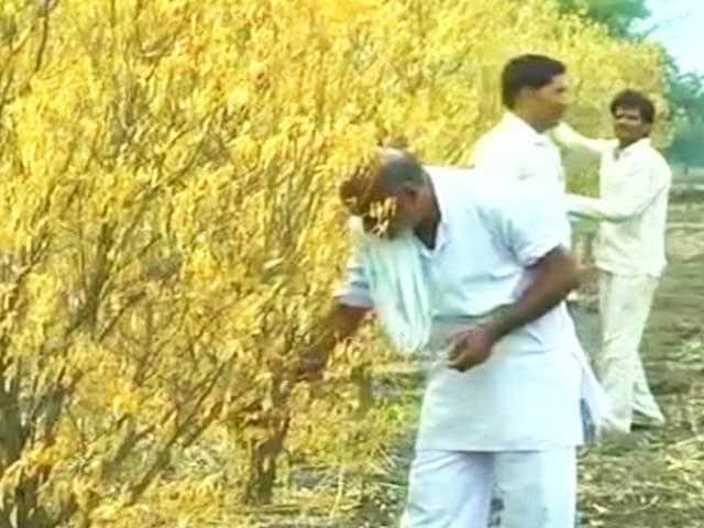 Video : Poor Monsoon Sours Hope for Orange Farmers in Madhya Pradesh