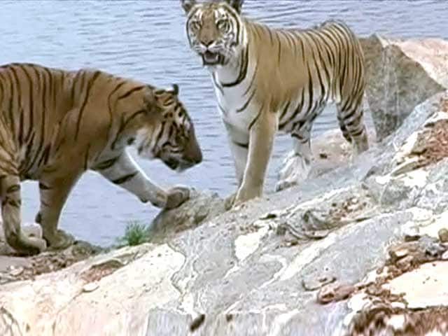 Video : Bandipur Tiger Reserve: The Beauty & The Beast