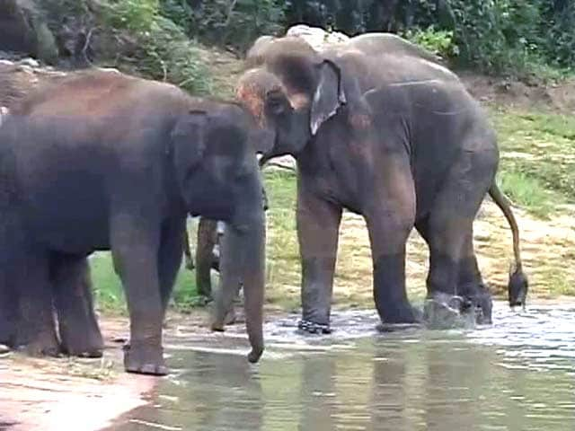 Video : With a New Girlfriend, Sunder, the Elephant Moves Towards Recovery