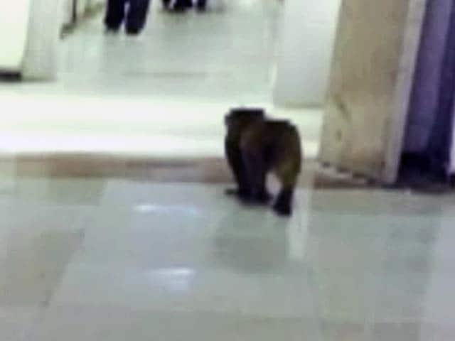 Video : लंगूर की ड्रेस में संसद परिसर से बंदर भगाएंगे कर्मचारी