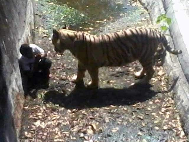 Video : White Tiger Kills Man Who Fell Into Its Enclosure At Delhi Zoo