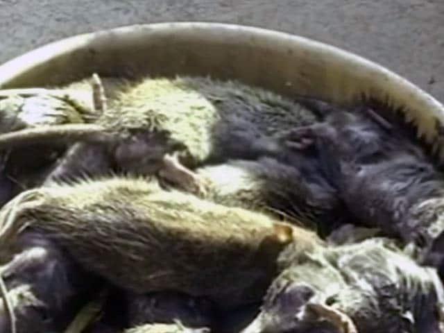 Videos : इंदौर : अस्पताल में दो दिन में मारे गए हजारों चूहे