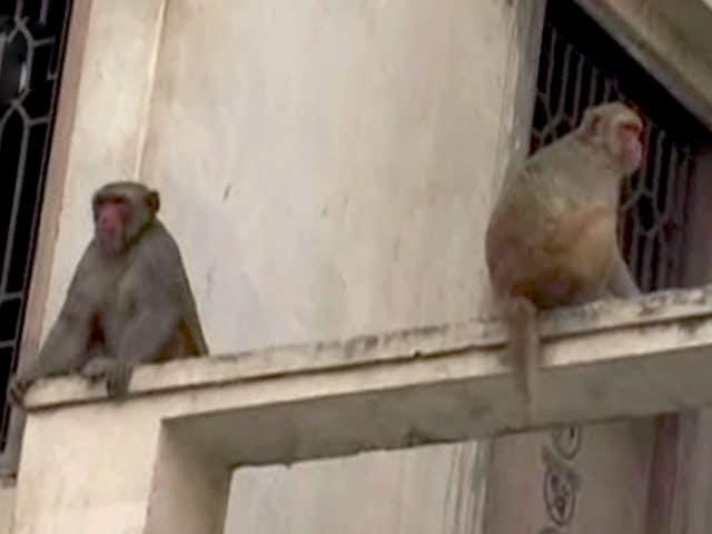 Videos : राष्ट्रपति का वृंदावन दौरा, बंदरों को भगाएंगे लंगूर